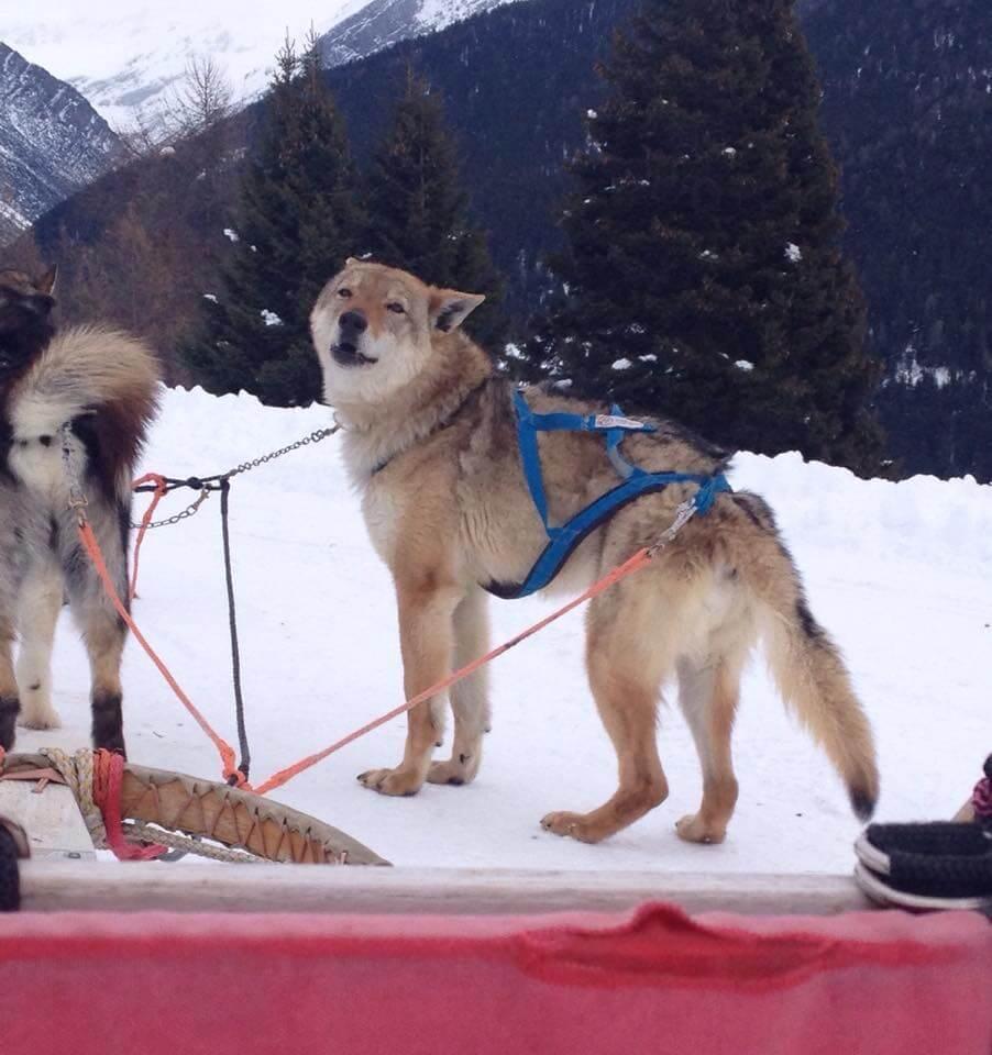 husky-village-sleddog-3