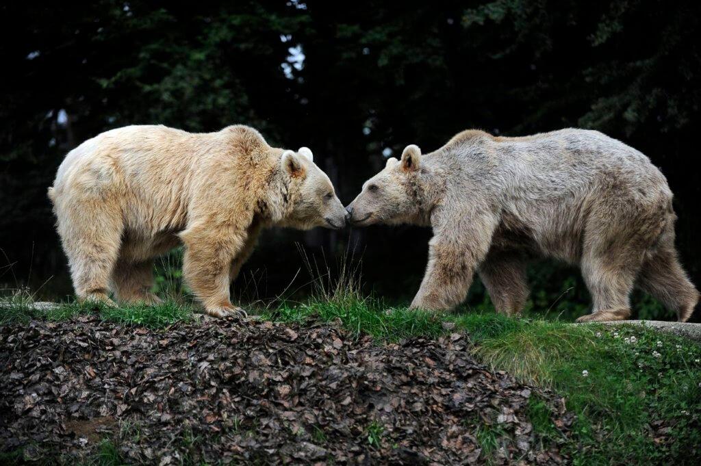 Arosa Bearland 4