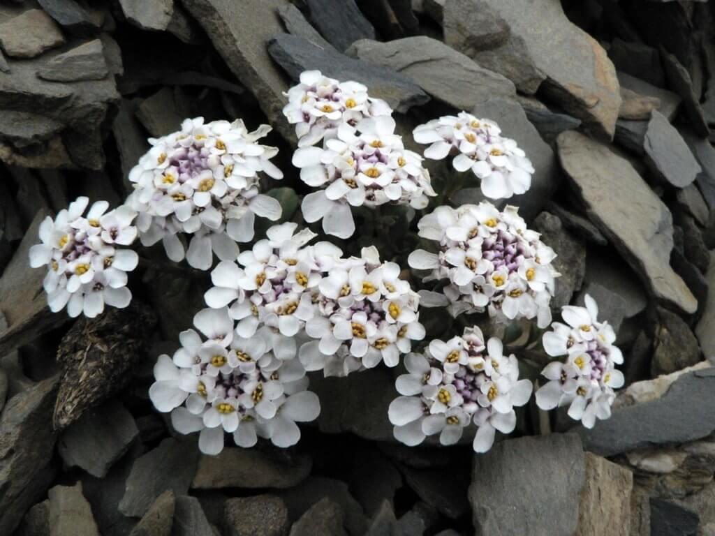 Iberis Aurosica subsp. nana, un endemismo delle Alpi Liguri, vicino a Limone Piemonte