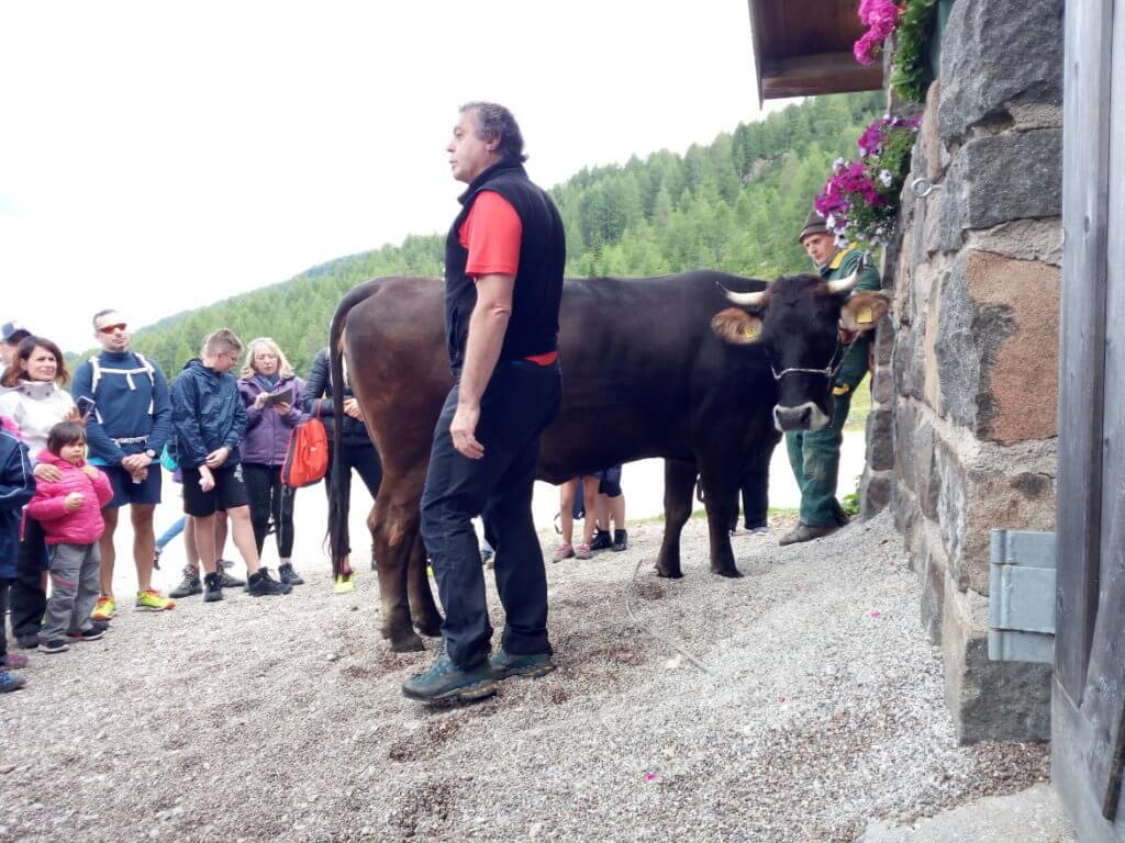 La nostra guida, Gianluigi, e la mucca Alpe pronta per la mungitura