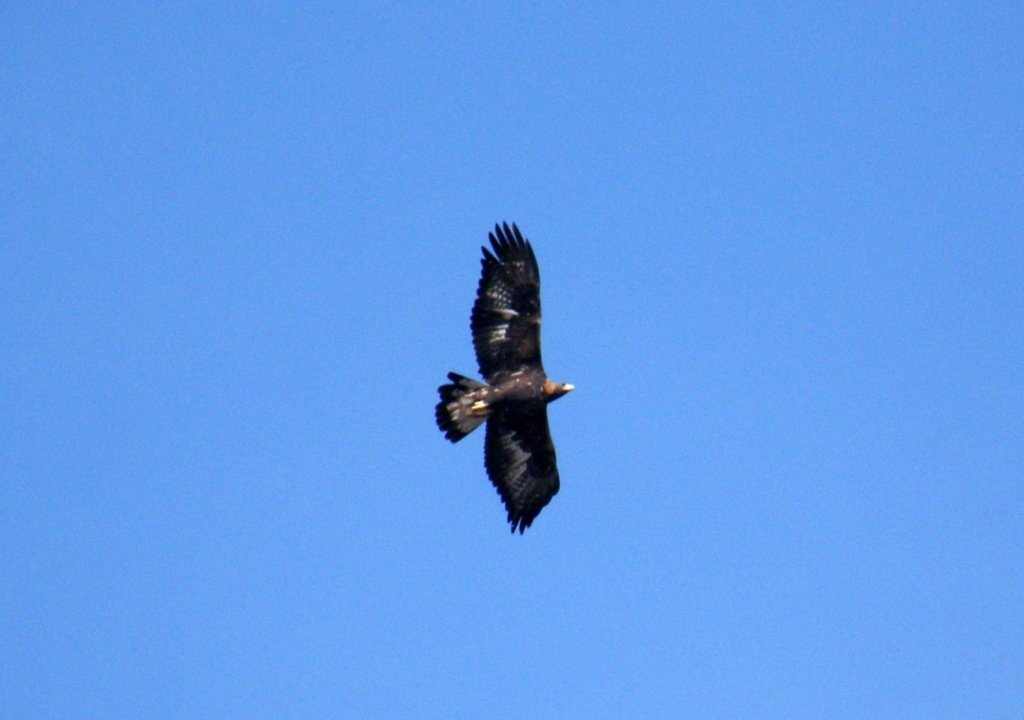 Aquila in volo a Limone, Piemonte