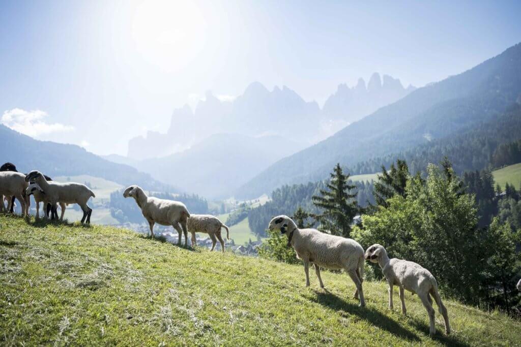 Pecore con gli occhiali a Funes
