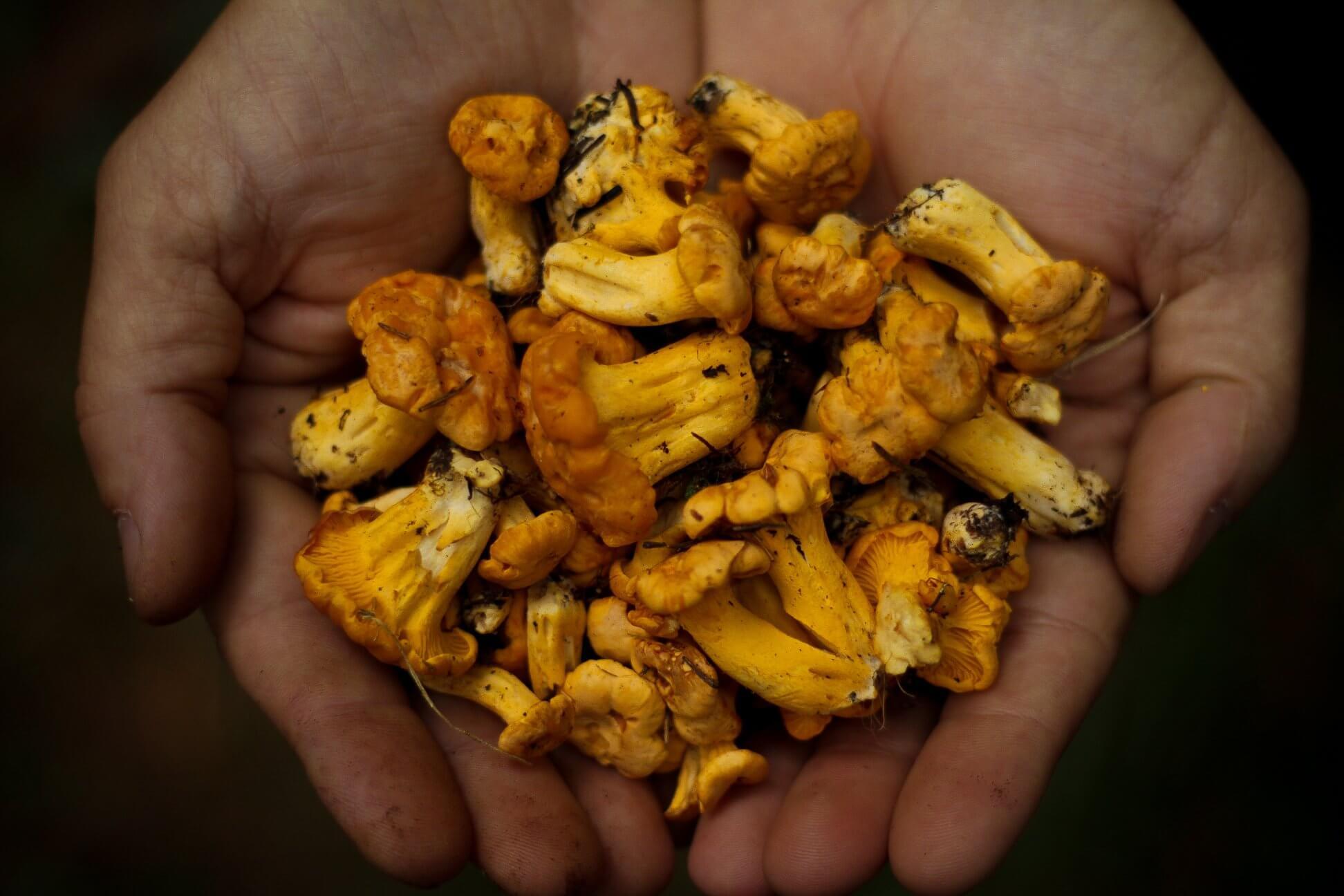 Foto di Cantharellus Cibarius - Festa dei Funghi
